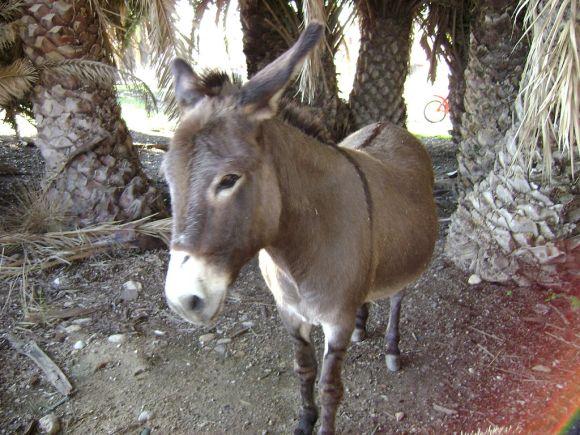 Donkey_(Equus_asinus)_in_Kalamiaris_Palm_Forest,_Panayoudha,_Lesvos-2