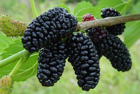 Mulberry_0021